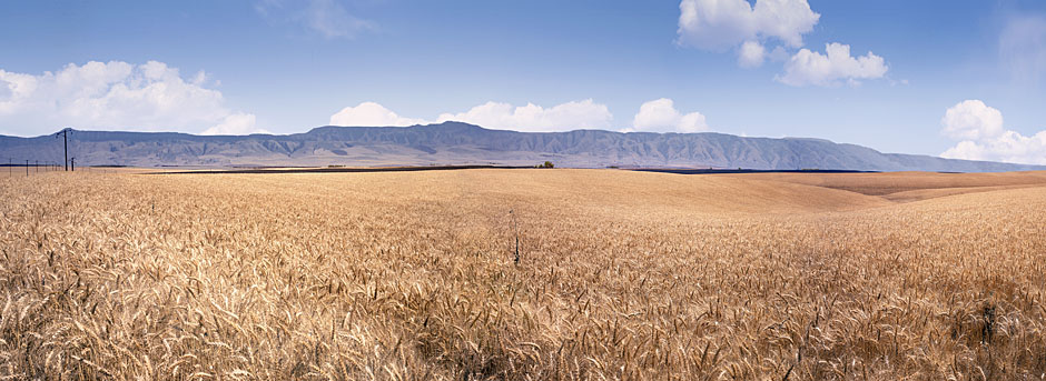 An Oregon Agriculture photograph; Wheat Field panorama;  Blue Mountains pan-Milton-Freewater to Pendleton sold as framed photo or canvas