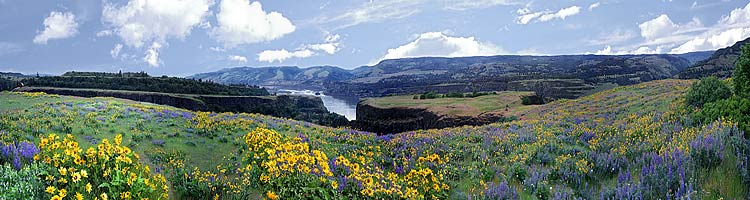 Columbia Gorge panorama; Balsam Root photograph taken at Rowena Loop; Tom McCall Preserve picture Oregon