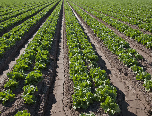 Arizona pictures-A lettuce field near Yuma
